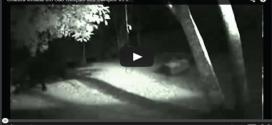 Werewolf in Brazilian backyard