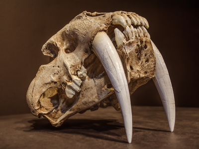 Netherlands - Saber tooth tiger skull, with long white ...